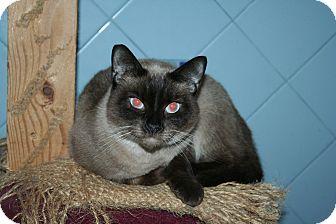 Siamese Cat for adoption in Santa Rosa, California - Chardonnay