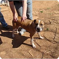 American Pit Bull Terrier Mix Dog for adoption in Blanchard, Oklahoma - Benny