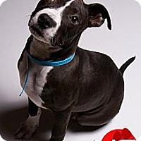 Adopt A Pet :: Bunny - Louisville, KY