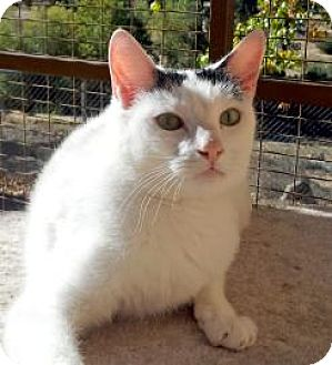Domestic Shorthair Cat for adoption in Mountain Center, California - Leslie
