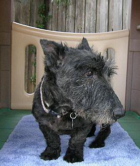 Scottie, Scottish Terrier Dog for adoption in Dallas, Texas - Yodell