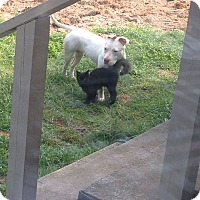 Adopt A Pet :: Josey - selden, NY