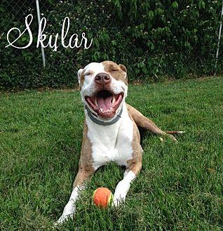 Pit Bull Terrier Mix Dog for adoption in Shelbyville, Kentucky - Skylar