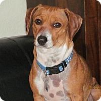Adopt A Pet :: Oliva - Arvada, CO