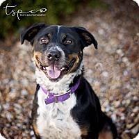 Adopt A Pet :: Saber Dawn - Springfield, MO