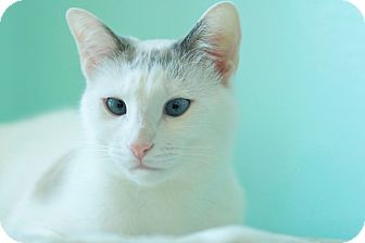 Domestic Shorthair Cat for adoption in Coronado, California - Sprinkles