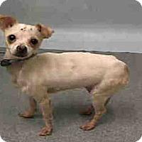Adopt A Pet :: Nivea - Bernardston, MA