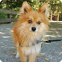 Adopt A Pet :: Copper - Walnut Creek, CA