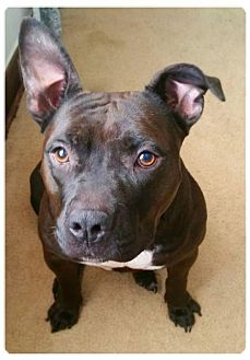 American Pit Bull Terrier Mix Dog for adoption in Mobile, Alabama - Sasha