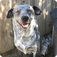 Adopt A Pet :: blizzard - Gadsden, AL