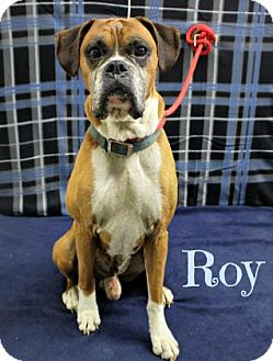 Boxer Dog for adoption in Melbourne, Kentucky - Roy