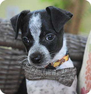 Jack Russell Terrier/Chihuahua Mix Puppy for adoption in Holly Springs, North Carolina - Diaval