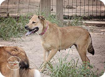 Golden Retriever/Labrador Retriever Mix Dog for adoption in Seattle, Washington - Pau - simple sweet