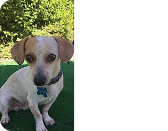 Dachshund/Terrier (Unknown Type, Small) Mix Dog for adoption in Palm Desert, California - Rudolph