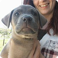 Pit Bull Terrier Mix Puppy for adoption in Fairview Heights, Illinois - Gizmo