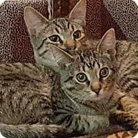 Adopt A Pet :: Brother & Sissy - Clarksville, TN