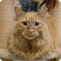 Domestic Longhair Cat for adoption in Columbia, Illinois - Nuggett