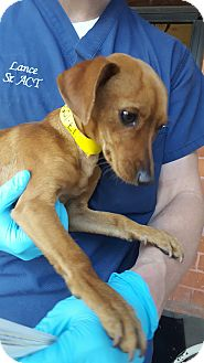 Dachshund/Terrier (Unknown Type, Small) Mix Puppy for adoption in Culver City, California - Gibson