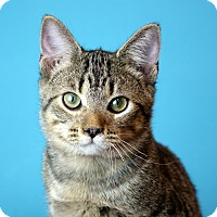 Adopt A Pet :: Patriot - Columbia, IL