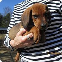 Adopt A Pet :: CLETUS - Williston Park, NY