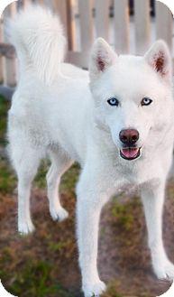 Siberian Husky Dog for adoption in Jupiter, Florida - Aspen