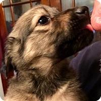 Adopt A Pet :: YOGI - ST LOUIS, MO