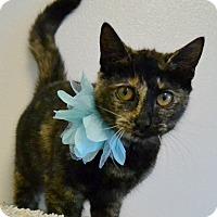 Adopt A Pet :: WASABI - TORTIE LOVE! - Plano, TX