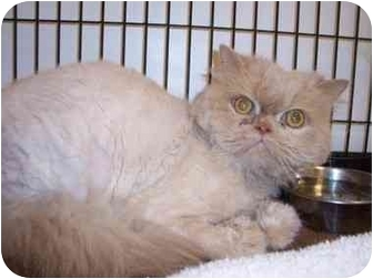 Persian Cat for adoption in Columbus, Ohio - Buttercup