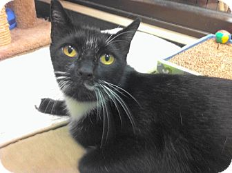 Domestic Shorthair Cat for adoption in Warminster, Pennsylvania - Tonio