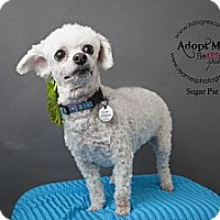 Adopt A Pet :: Sugar Pie - Shawnee Mission, KS
