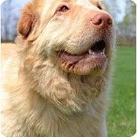 Adopt A Pet :: Blondie Too - Newport, VT