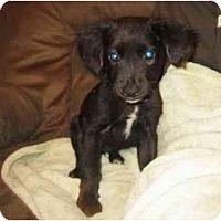 Adopt A Pet :: Mango - Manalapan, NJ