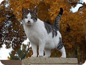 Domestic Shorthair Cat for adoption in Mesa, Arizona - Jessica