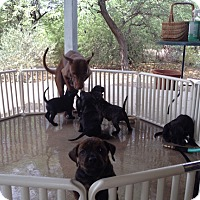 Adopt A Pet :: Lab Puppies.  COURTESY POST - Phoenix, AZ