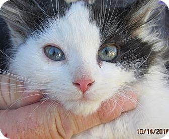 Germantown, MD - Maine Coon. Meet Jeena a Kitten for Adoption.
