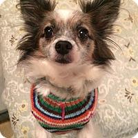 Adopt A Pet :: Miranda - Newtown, CT
