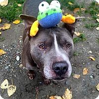 Adopt A Pet :: Brucie Bruce - Issaquah, WA