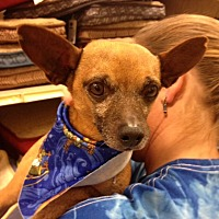 Chihuahua Mix Dog for adoption in Bedford, Texas - Charlie