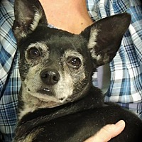 Chihuahua/Terrier (Unknown Type, Small) Mix Dog for adoption in Joplin, Missouri - MAX