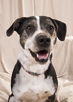 Basset Hound Mix Dog for adoption in St. Louis, Missouri - Boomer Bassett
