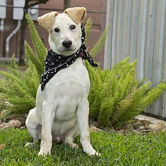 Labrador Retriever/Labrador Retriever Mix Dog for adoption in Portland, Oregon - Pirate