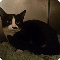 Domestic Shorthair Kitten for adoption in Chicago, Illinois - Bean