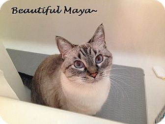 Siamese Cat for adoption in Chandler, Arizona - Maya