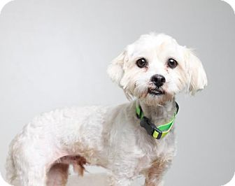 Havanese/Bichon Frise Mix Dog for adoption in Edina, Minnesota - Lito D161272: PENDING ADOPTION