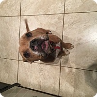 English Bulldog/American Bulldog Mix Dog for adoption in Mesquite, Texas - Pumpkin