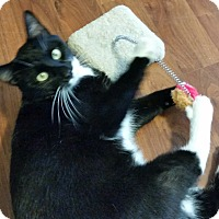 Adopt A Pet :: Tuxie - Spring Brook, NY
