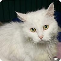 Domestic Longhair Cat for adoption in Warwick, Rhode Island - Fancy