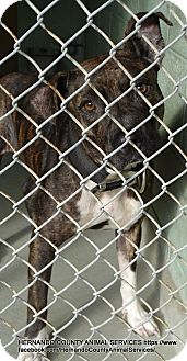 Terrier (Unknown Type, Medium) Mix Dog for adoption in Brooksville, Florida - MAY MAY