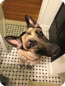 German Shepherd Dog Dog for adoption in Morrisville, North Carolina - Blaze