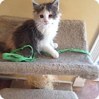 Adopt A Pet :: Bunny - Bridgeton, MO
